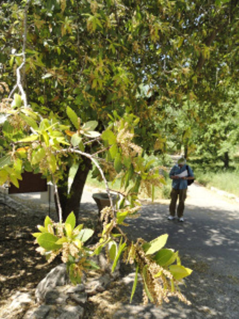 Quercus calliprinos with Bruce