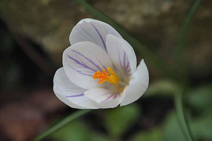 White and purple crocus flower | GardenersPath.com