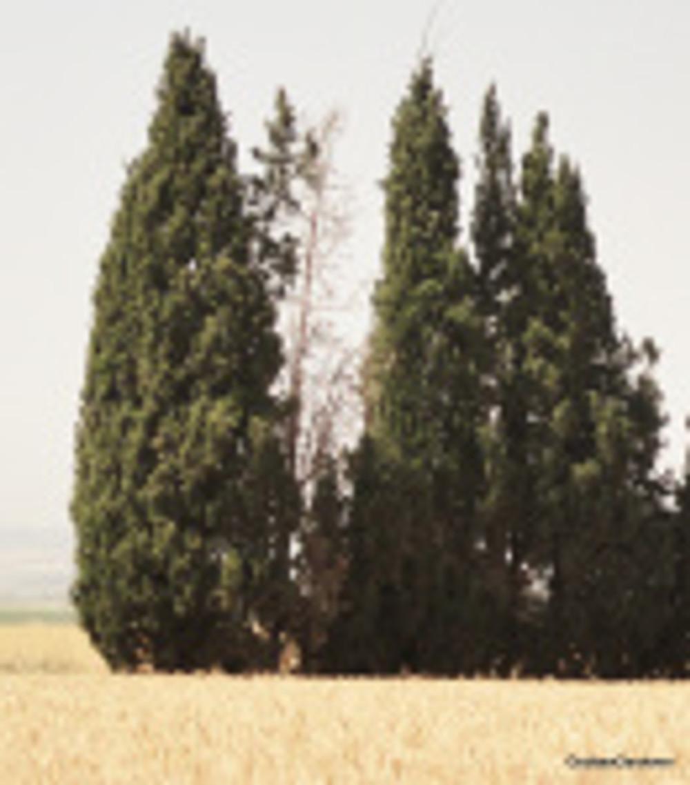 Cypress, Jezreel Valley