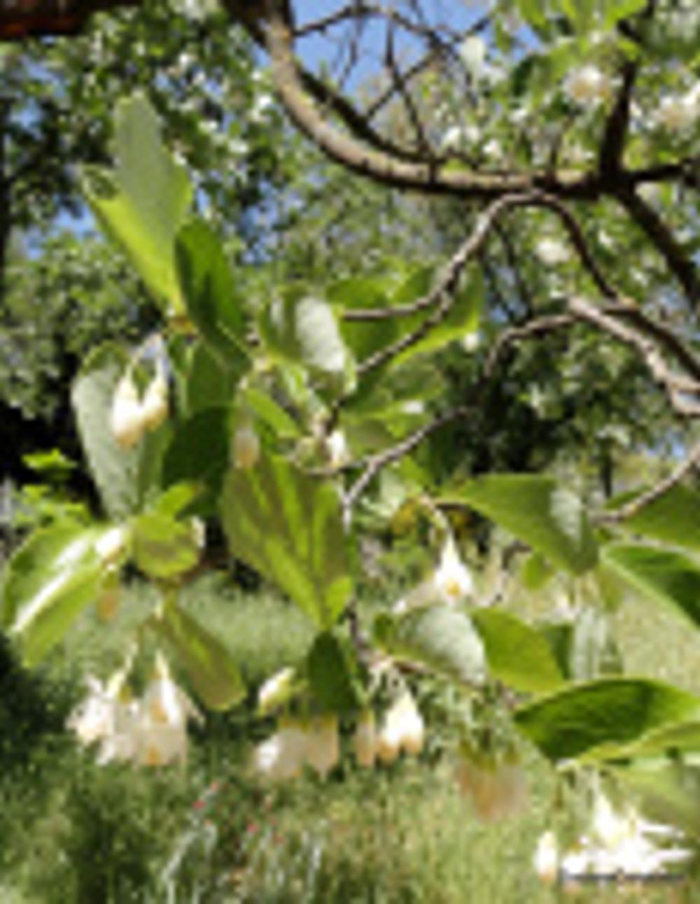 Styrax officinalis, JBG