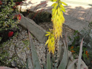 Aloe can be poisonous