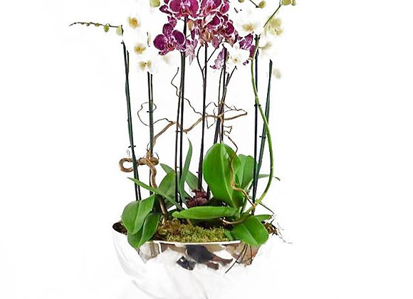 Cymbidium Orchid Plant Arrangement