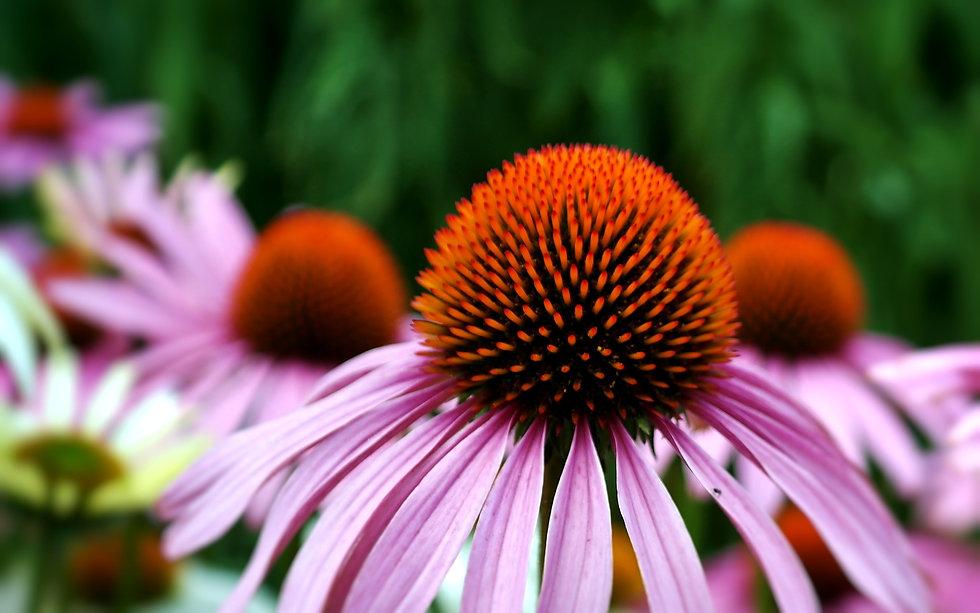 echinacea-3540788_1920.jpg