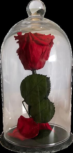Rose Sous Cloche / Rouge / M