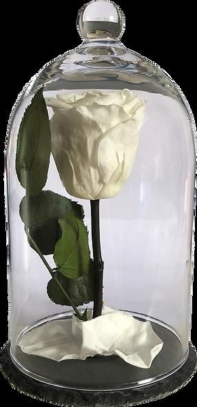 Rose Sous Cloche / Blanche  / M
