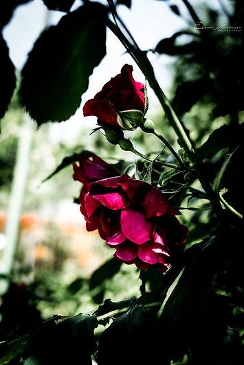 sweet roses.jpg