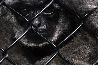 moloch-gibbon-4919419_1920.jpg