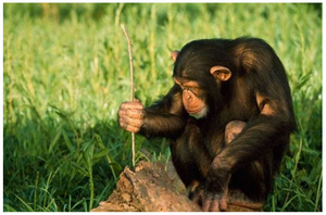Photo Source: Humans and Chimps Are Too Similar In Using and Sharing Tools and Skills to Others