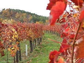 Weingarten im Herbst  rot.JPG