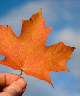 Maple-leaf-main.jpg