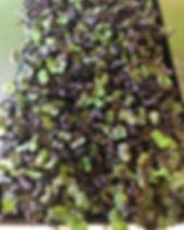 Purple Sango Radish.jpg