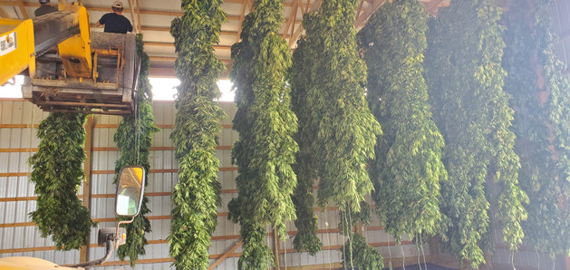 hang-drying for harvest