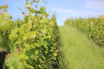 Les vignes du Domaine Lafage au printemps 2018