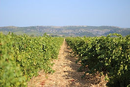 Vignes Ortola face à la Clape