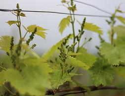 Inflorescence : Formation des grappes de raisins en Mai