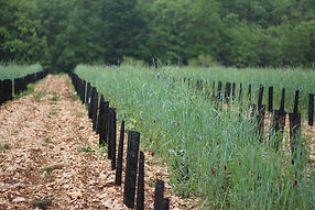 Plantation de vignes