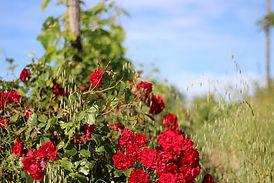 Les roses alertent en amont la survenance de maladies