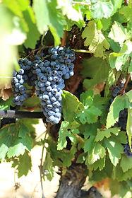 Vignes Ortola à maturité