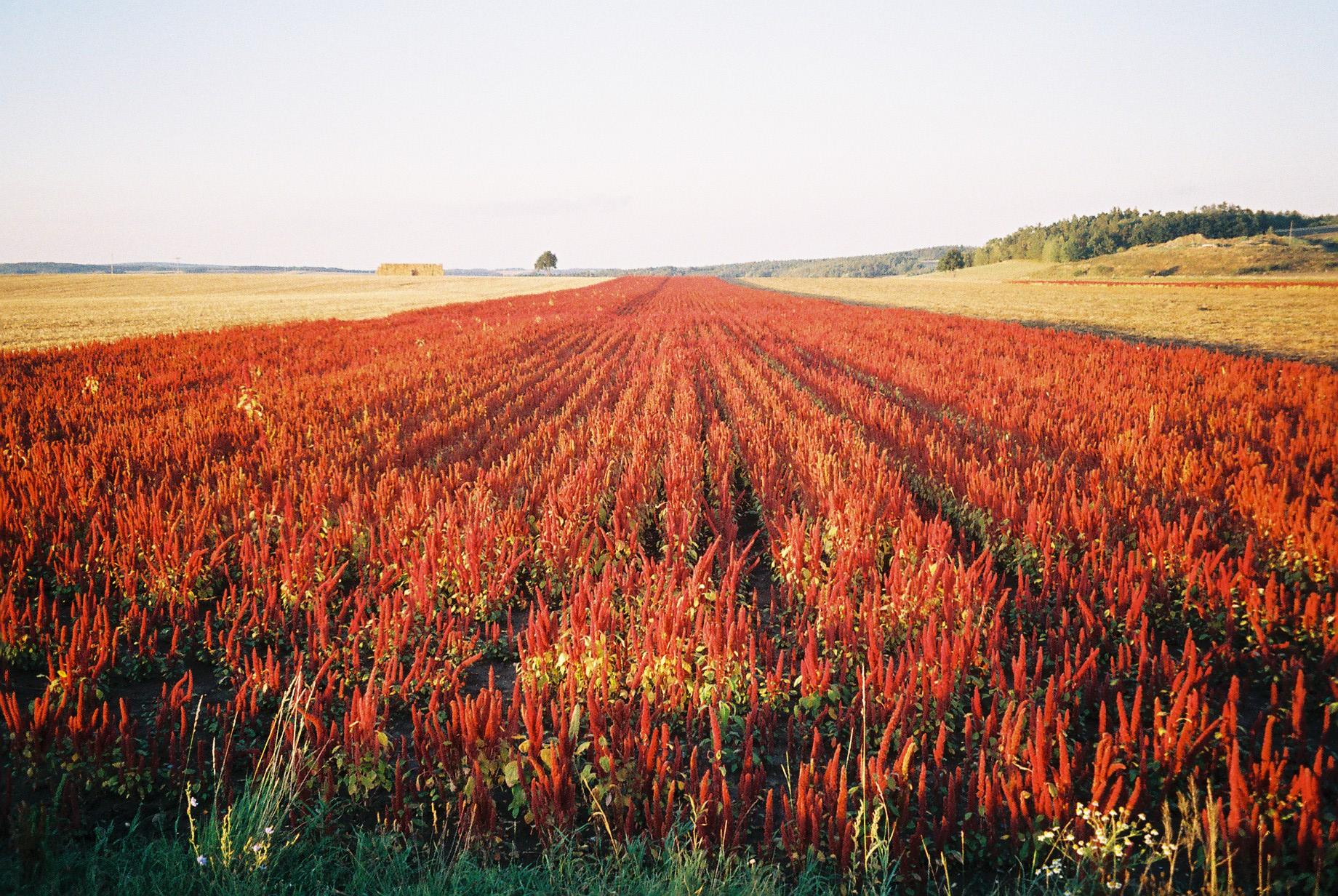 Quinoafeld bei Geras