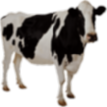 cow on white background.png