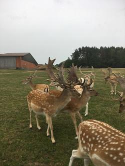 Die Brunft steht an und die Hirsche begeben sich auf Brautschau