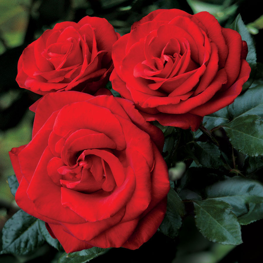 Roses and Obituary for Nora Capati