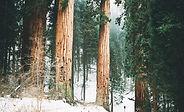 Snowy Waldbäume