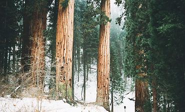 Snowy Woodland Trees
