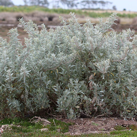 Grey saltbush.jpg