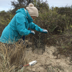 Lisa planting natives with the Tennyson Dunes Group