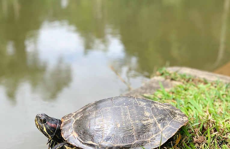 black-turtle-on-green-grass-near-body-of