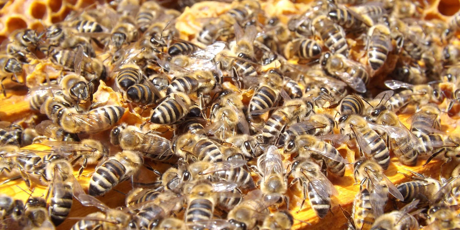 swarm-insects-bees-honey-48022.jpg