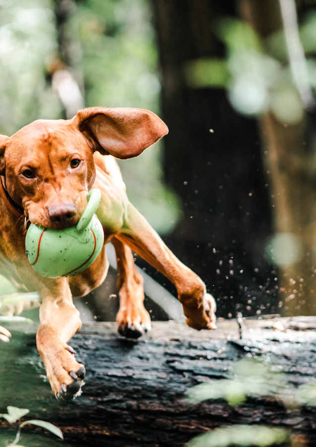 dog-with-ball-in-mouth-jumping-over-a-fa