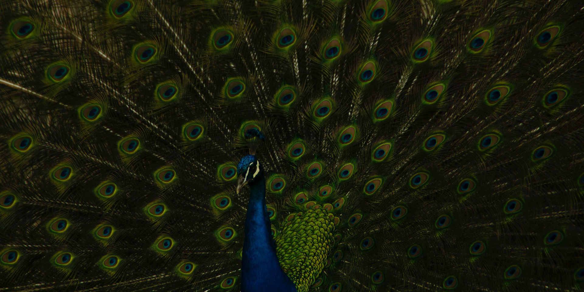 blue-peacock-in-close-up-photography-406