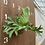 Thumbnail: P.Ridlayi × P.Kitshakoodiense 小