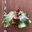 Thumbnail: P.Elephontotis×P.Alcicorne Madagascar ②