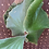 Thumbnail: P.Elephontotis×P.Alcicorne Madagascar