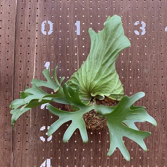 P.Ridlayi × P.Kitshakoodiense 小