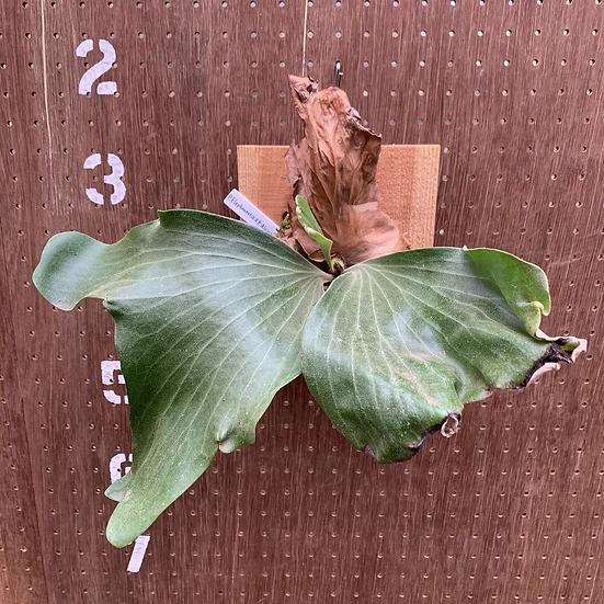 P.Elephontotis×P.Alcicorne Madagascar ①