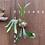 Thumbnail: P.Diversifolium spore①