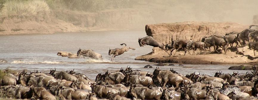 Gnu MIGRAZIONE  - Maasai Mara - Kenya.jp