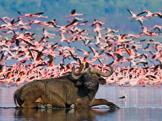 lago_nakuru_bufalo_fenicotteri_rosa_keny