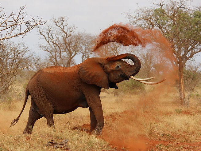 Elefante doccia di sabbia - Kenya.jpg
