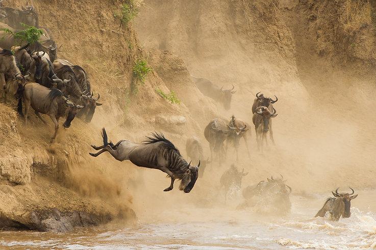 Gnu salto Masai Mara - Kenya.jpg