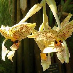 orchidee-stanhopea-graveolens-isola-di-s