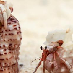 crabs-corail-noir-le-jardin-nosy-be-mada
