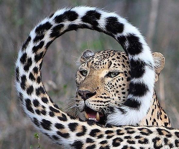 ghepardo_masai_mara_kenya.jpg