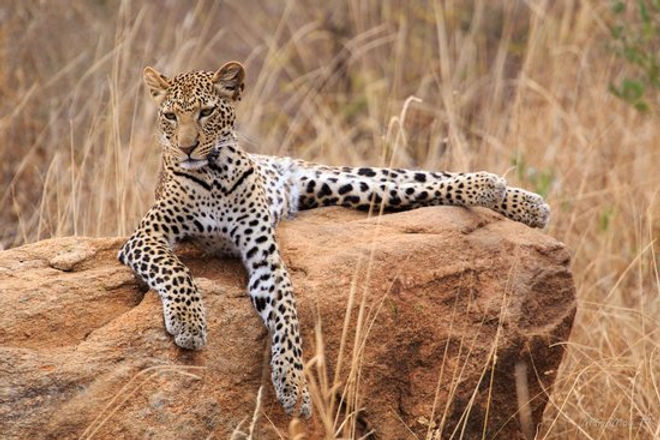 Leopardo Tsavo - Kenya.jpg