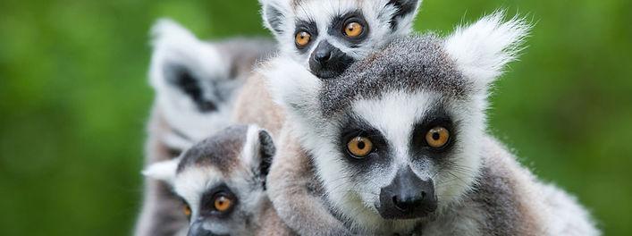 famiglia-di-lemure-madagascar.jpeg