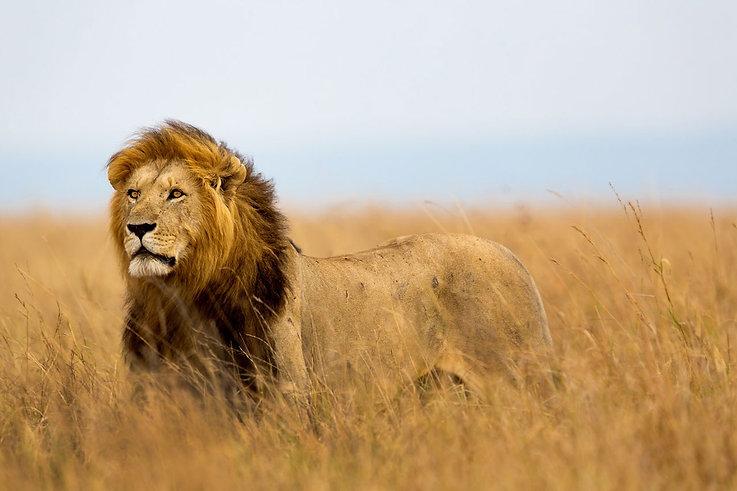 LION Tsavo Est.jpg